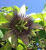 Homesteading-passion-flower