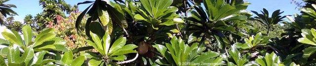 mamey-tree-P60cu