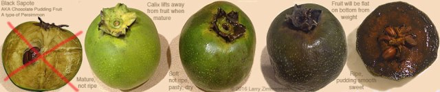 Black-Sapote-stages2p60u