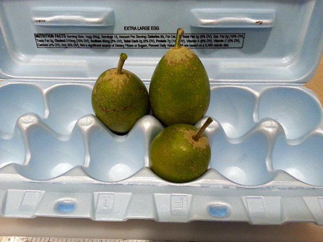 white-sapote-fruit.p50