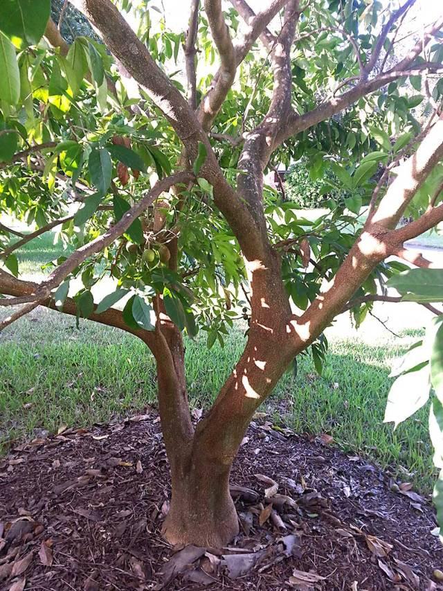 white-sapote-tree.p30