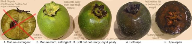 black-sapote-stages